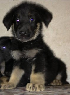 MSA*************** For sall German shephard puppies son of (hatl
