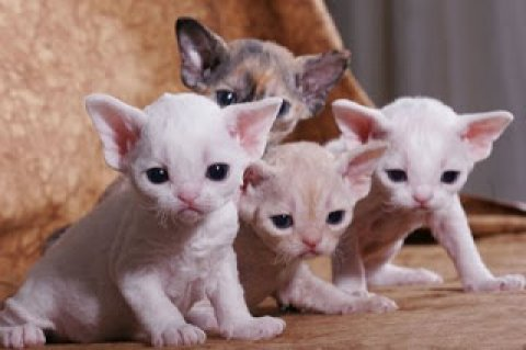 2 Devon Rex Breeders Devon Rex Cat Breeders