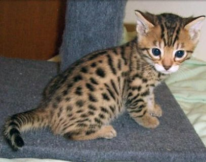 2Exotic bengal kitten