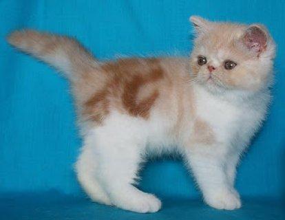 smerican Shorthair Kittenss