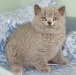 صور cLIGHTUP SHORTHAIR KITTENS LOOKING FOR REHOMING 1