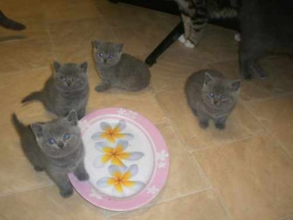 Blue British Shorthair kittens8