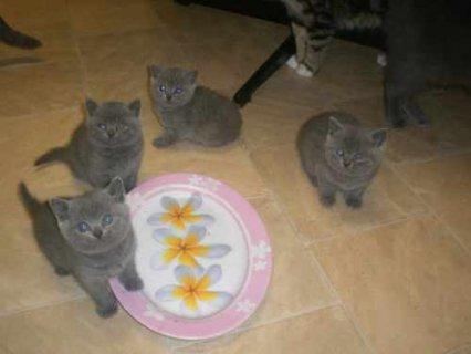 Blue British Shorthair kittens8