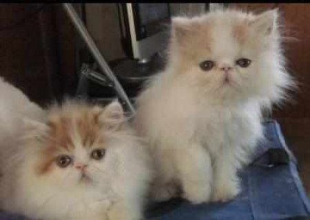 CFA PERSIAN AND HIMALAYANc