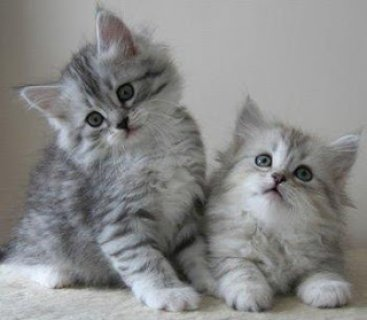 صور ssiberian kittens for re-homing to any lovely homes 1