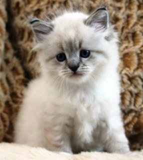 cute Siberian kittens for adoptione