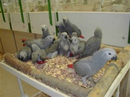 صور African Grey parrots and parrot eggs for salejh 1
