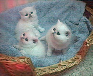 Registered great blood lines persian kittens,Pure bredGG