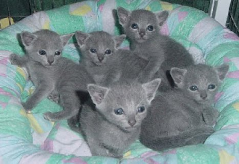 Russian Blue kittensCC