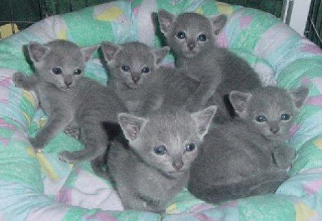 Russian Blue kittensCC