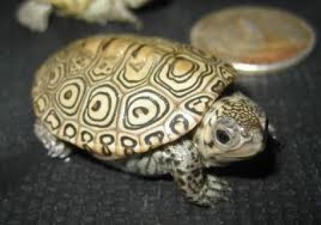 صور very lovey,charming home raised Turtles  for sale.   contact me  1