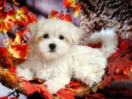 Excellent Maltese Puppies for Adoption