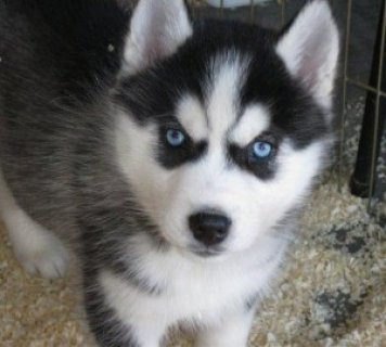 MALE AND FEMALE SIBERIAN HUSKY PUPPIES FOR FREE ADOPTION