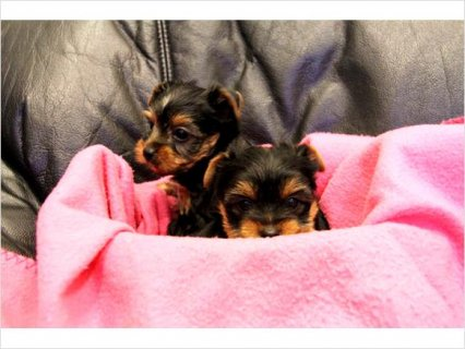 Adorable Yorkshire puppies available.