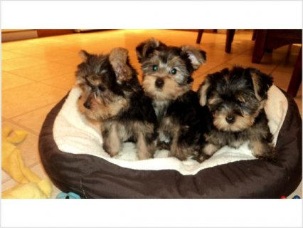 Pure breed 3 adorable male Yorkshire Terrier puppies are availa