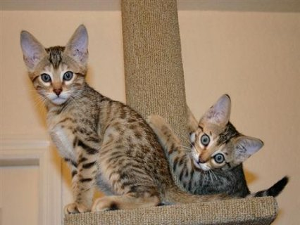 Beautiful Savannah Kittens For Adoption into New Homes