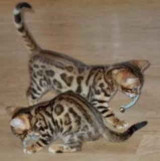 2 Charming Savannah F1 kittens Rehoming
