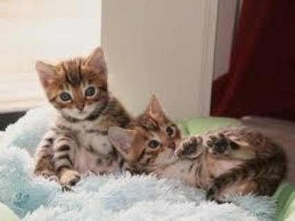 صور Savannah Kittens Available Now 1