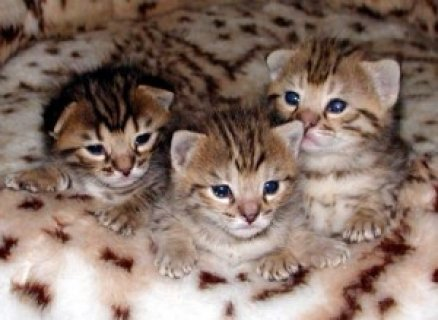 صور F2 savanna kittens For Free Adoption 1