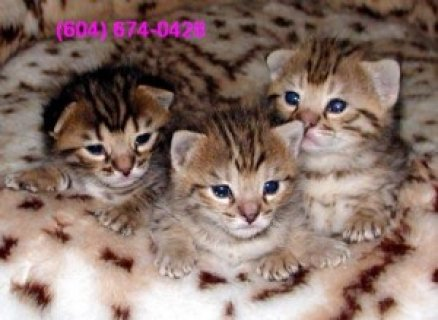 Gorgeous Savannah Kittens For Sale