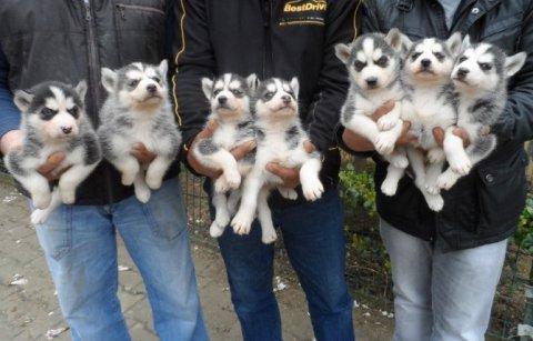 كلاب هاسكي سيبيري للبيع