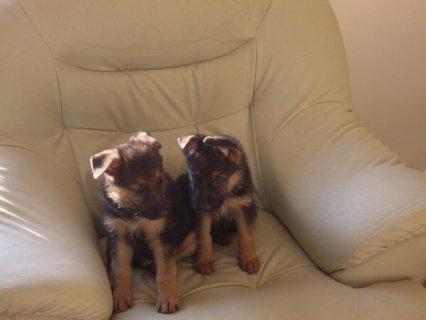 كلاب جيرمن شيبرد للبيع