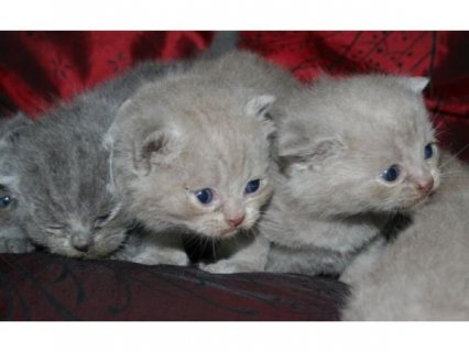 British shorthair blue 14 weeks old for adoption