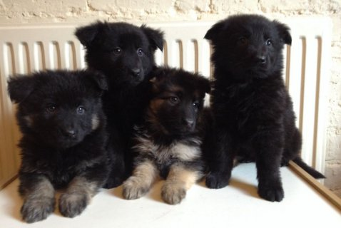 صور Super german shepherd  puppies needing a forever home 1