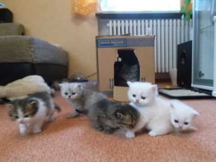 Cute Persian Kittens Available