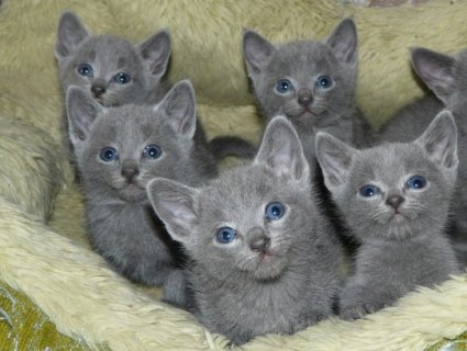 صور British short hair Kittens Available 2