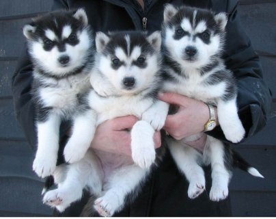Siberian husky puppies available for new home