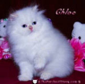 صور Persian kittens for adoption 1