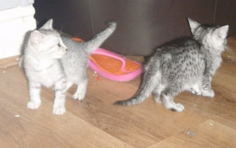 two Egyptian Mau ready to go for adoption