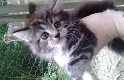 صور Maine Coon Kittens 1