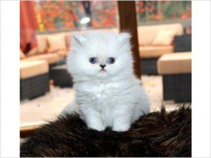 Beautiful Blue Point Baby Boy Himalayan Persian Kitten