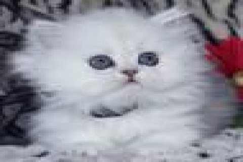 JAPANESE PURE WHITE PERSIAN KITTEN FOR ADOPTION