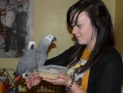 2 African Grey Parrots for Sale