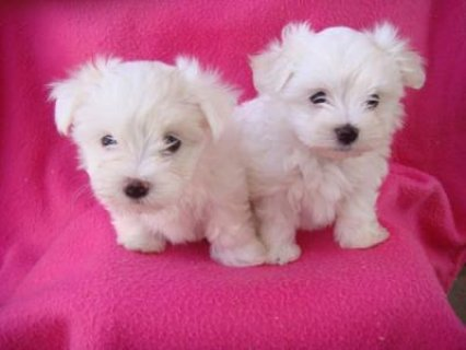 male and female maltese puppies for rehoming