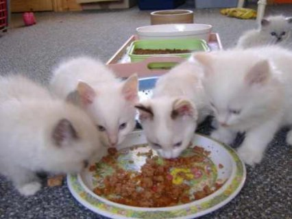 Five Ragdoll kittens for adoption