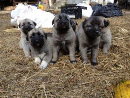 كلاب كانجل