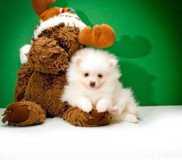 Excellent Pomeranian Puppies