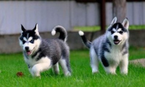 Siberian Husky for adoptions - Male and Female