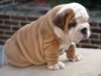 صور Bulldog Puppies for Sale 1