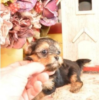 Tiny Female Yorkie for Sale
