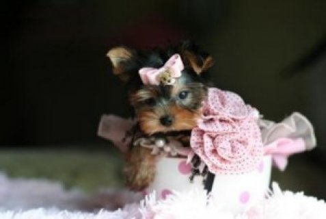 Inspirational Yorkie Puppies