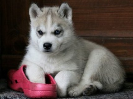 Siberian husky puppies- AKC - 14 weeks old