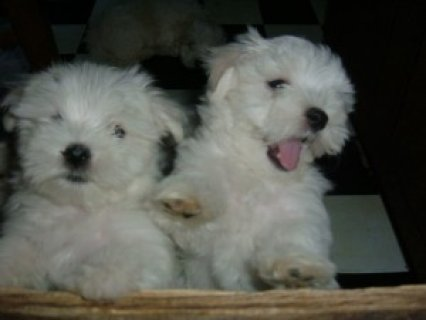 صور Looking for a Maltese puppy 1