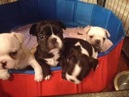 French bulldog puppies for salee