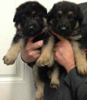 Gorgeous German Shepherd puppies for adoption