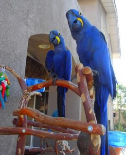 Pair Of Hyacinth Macaw Parrots Looking for a new hom